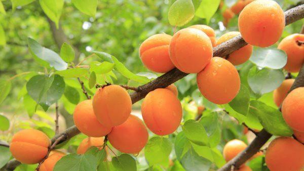 Абрикос - плоды на ветке