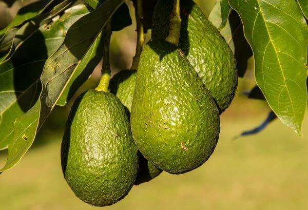 Как выглядит авокадо?