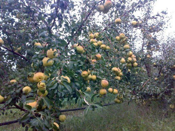Выращивание Айвы: посадка и уход