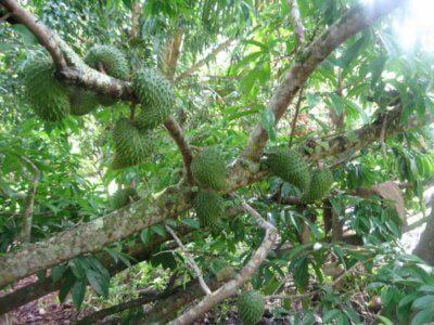 Аннона (гуанабана, сметанное яблоко) - полезные свойства и противопоказания, состав, фото, как растет, рецепты приготовления