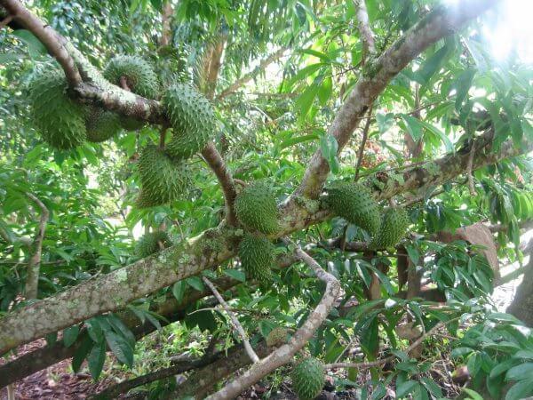Гуанабана - дерево с плодами