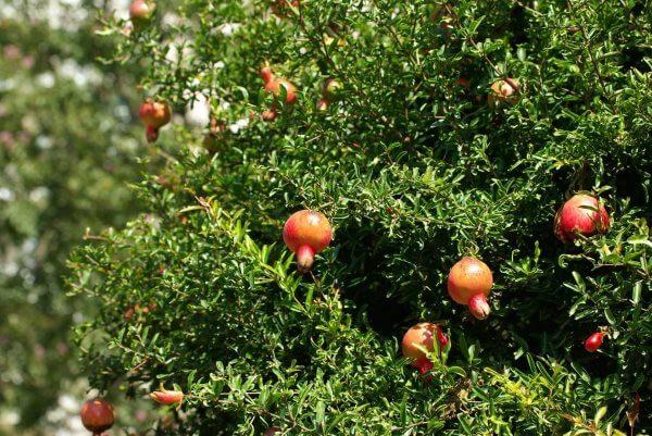 дерево гранат с плодами