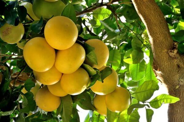Грейпфрут - польза и вред, калорийность и состав. Как правильно едят грейпфрут? Как вырастить в домашних условиях