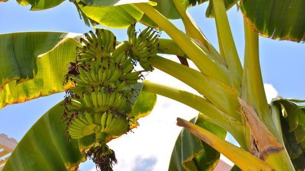 Банан - как растет, полезные свойства и противопоказания, калорийность и состав. Рецепты и выращивание дома
