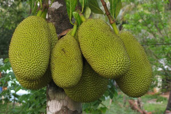 Джекфрут - полезные свойства и противопоказания, калорийность, состав. Как едят джекфрут, как вырастить дома?