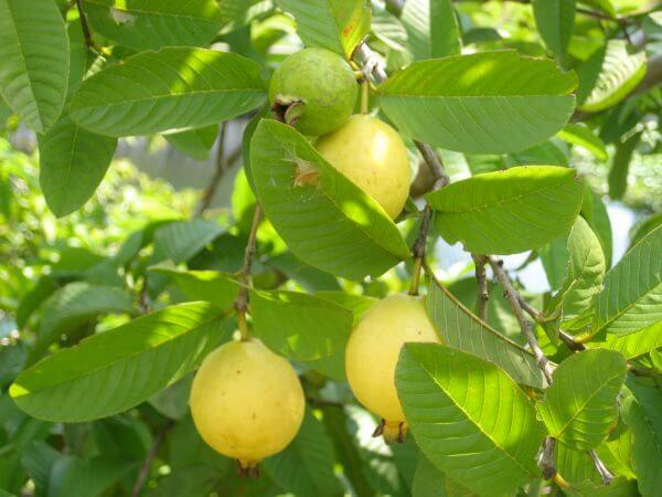 плоды гуавы на ветке