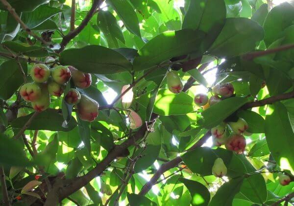 Чомпу (розовое яблоко) - полезные свойства и противопоказания, состав, калорийность. Как едят Чомпу, рецепты