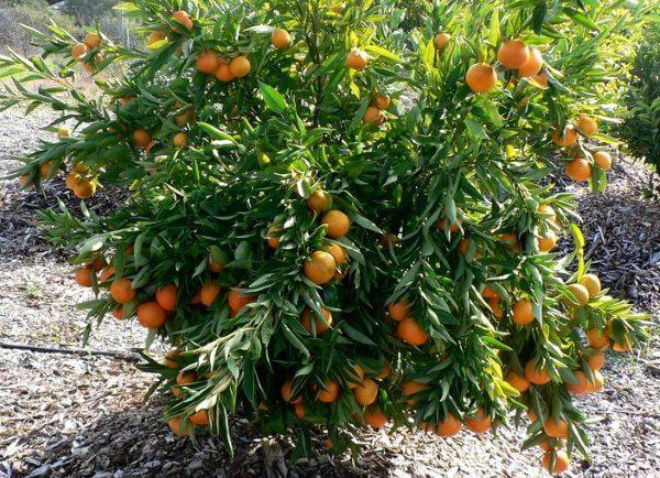 Фото: Клементин - дерево с плодами