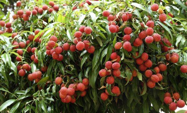 Фото: как растет фрукт Личи