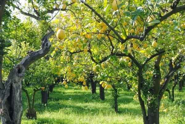 Фото: как растут Лимоны