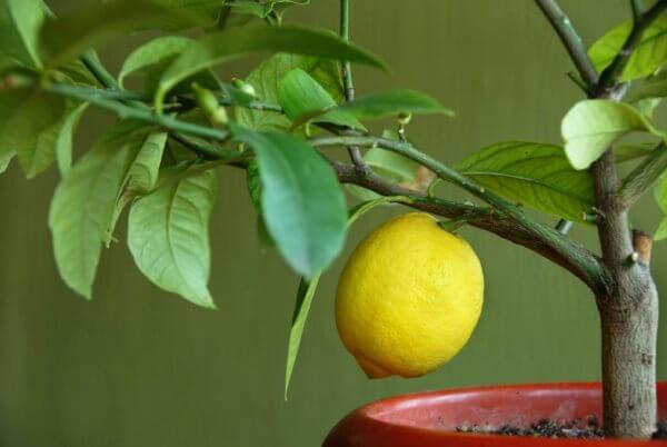 Фото: Лимон в домашних условиях