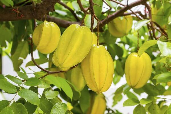 Карамбола - полезные свойства и противопоказания. Описание, состав и калорийность фрукта. Как едят карамболу?