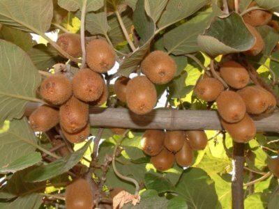 Киви - польза и вред фрукта. Состав, калорийность, содержание полезных веществ. Как правильно едят киви, рецепты