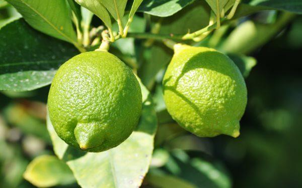 Фото: фрукт Лайм на ветке