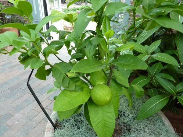 Фото: растение Бергамот, выращенное дома