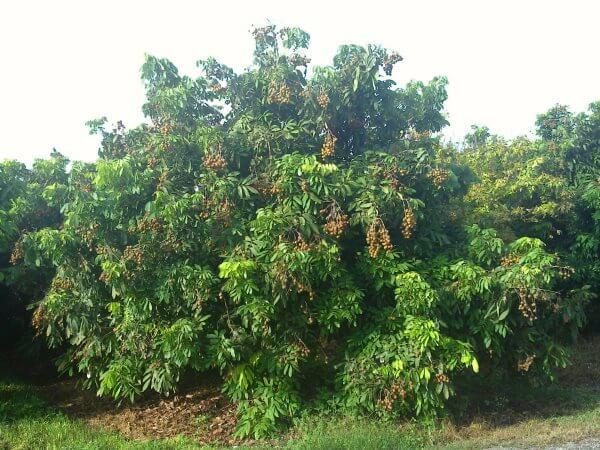 Фото: как растет Лонган на дереве