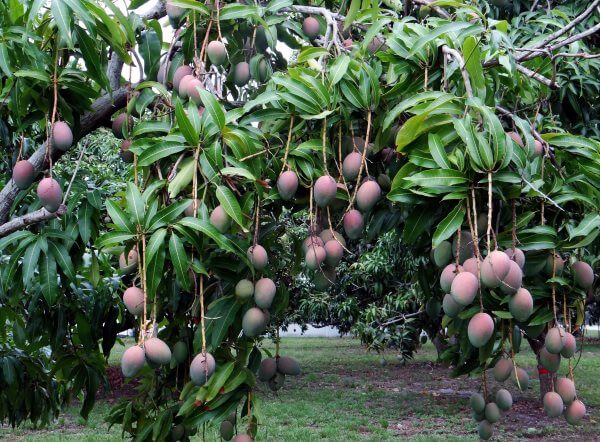 Фото: плоды Манго на дереве