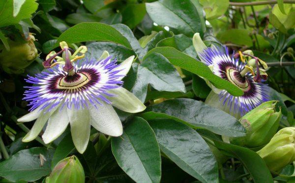 Фото: цветок Маракуйи