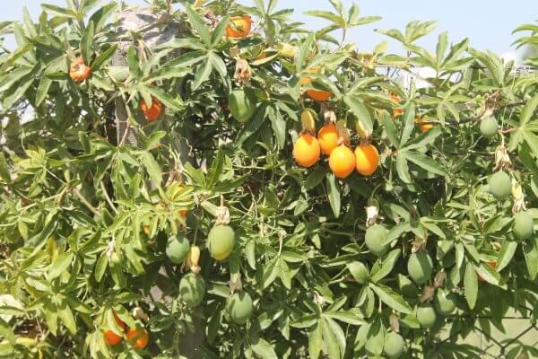 Маракуйя - полезные свойства и противопоказания, калорийность, состав. Как есть маракуйю, рецепты. Выращивание маракуйи в домашних условиях