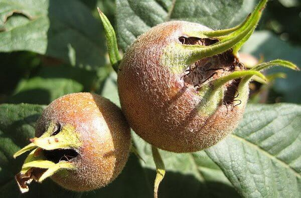 Мушмула: польза и вред для организма, химический состав