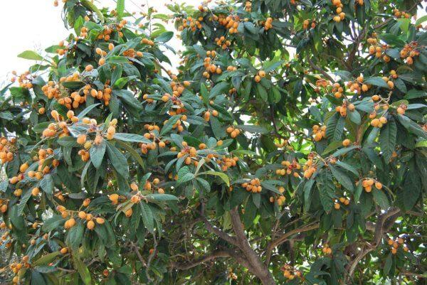 Фото: дерево Мушмула Японская (Локва)