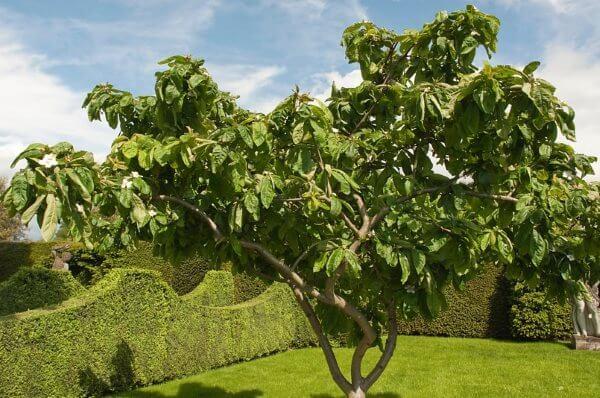 Мушмула германская - фото дерева
