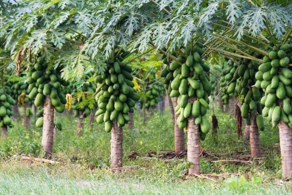 Папайя - полезные свойства и противопоказания, состав, калорийность. Как едят папайю? Выращивание папайи в домашних условиях