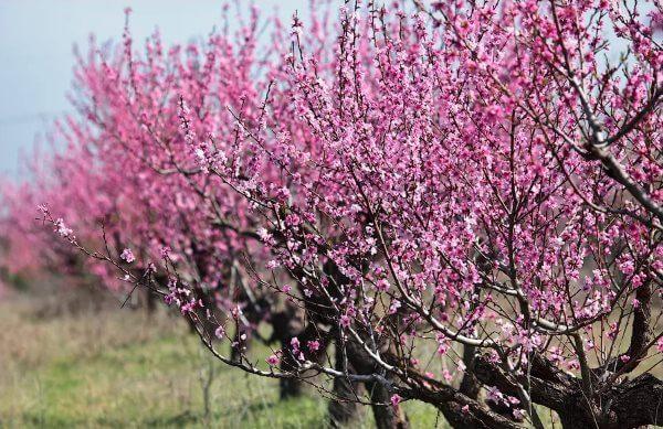 Фото: персиковое дерево в цвету