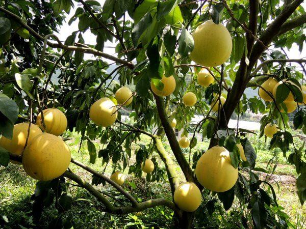 Фото: как растет Помело на дереве