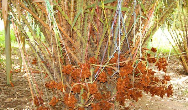 Салак (змеиный фрукт) - описание, польза и вред, состав, калорийность. Как едят салак и как вырастить в домашних условиях
