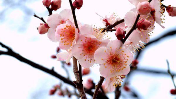 Фото: цветы Сливы