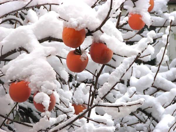 Фото: Хурма в снегу