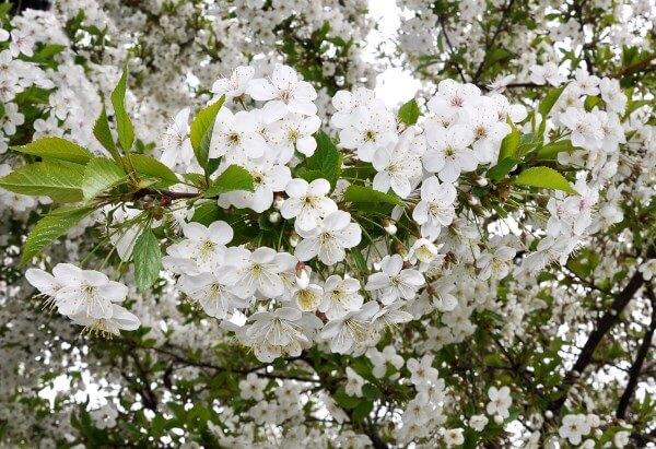 Фото: дерево вишни в цвету