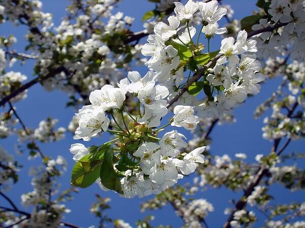 Фото: как цветет Черешня