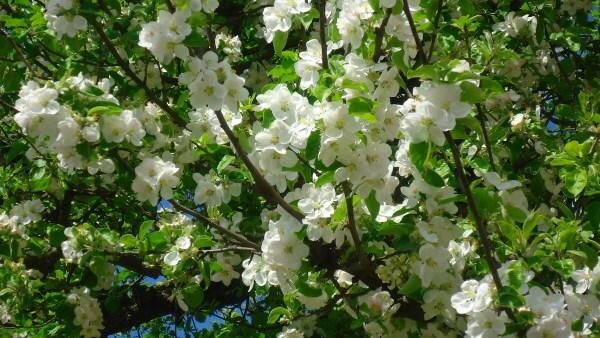 Фото: Яблоня с цветами
