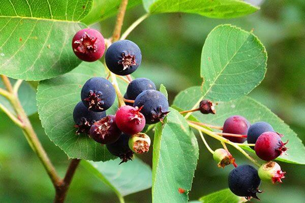 Ирга - полезные свойства и противопоказания, состав и калорийность, описание растения и плодов