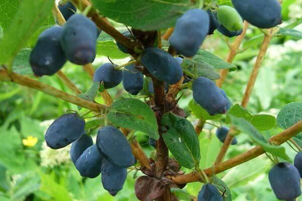 Жимолость - описание растения и ягод, фото, полезные свойства и противопоказания, состав, калорийность плодов