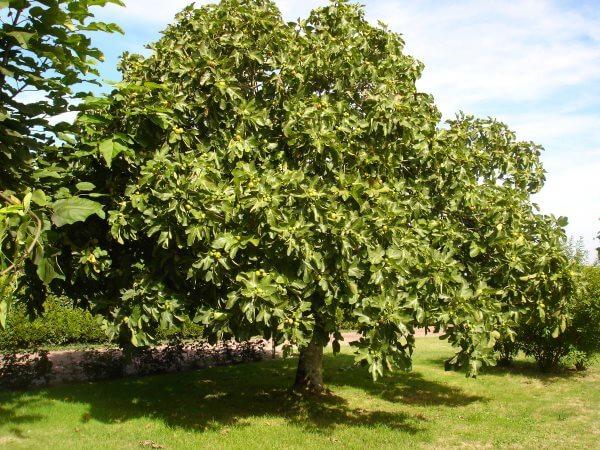 Фото: Фиговое дерево (Смаковница)