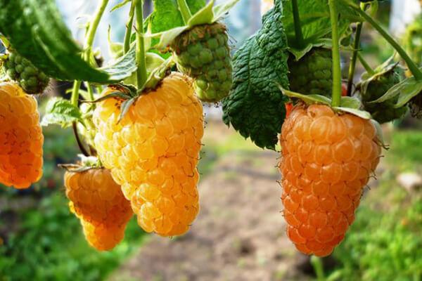 Фото: один из сортов желтой малины