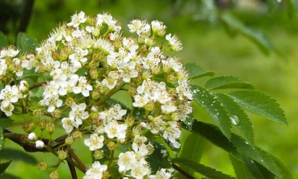 Фото цветущей рябины