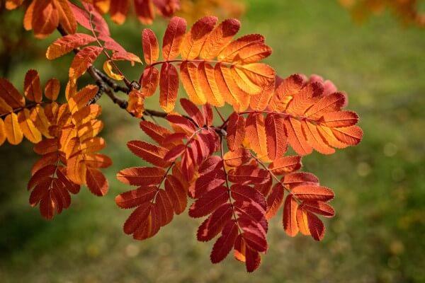 Фото: листья рябины осенью
