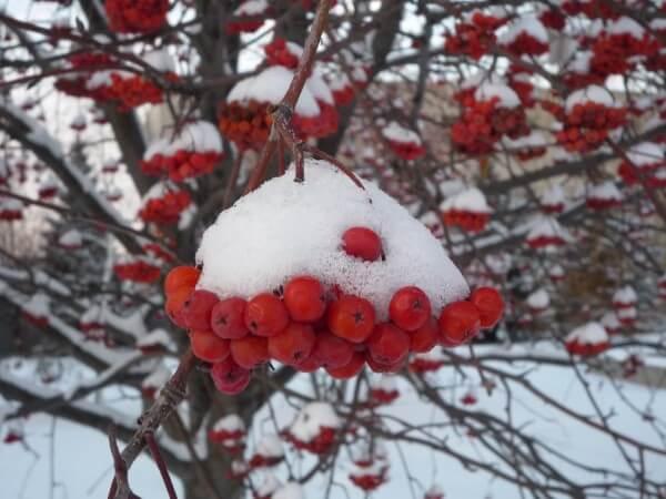 Фото: рябина зимой