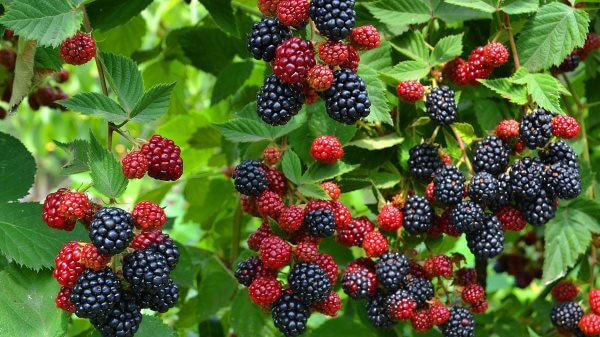 Фото: ягоды ежевики на кусте