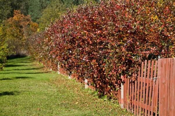 Фото: Кусты черноплодной рябины