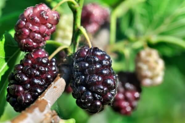 Фото: ягоды Шелковицы