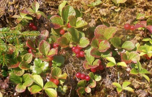 Красника - описание растения и ягоды, полезные и вредные свойства, состав, калорийность, фото