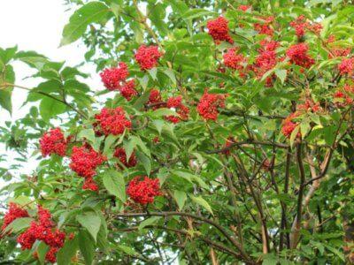 Бузина Красная - описание, полезные и вредные свойства, состав и калорийность ягод, фото