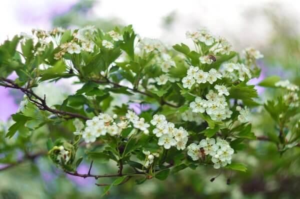 Фото: как цветет боярышник