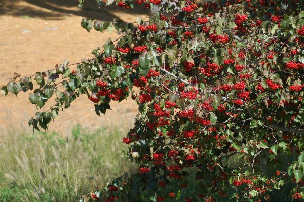 Боярышник - описание и фото, полезные и вредные свойства, состав и калорийность ягод
