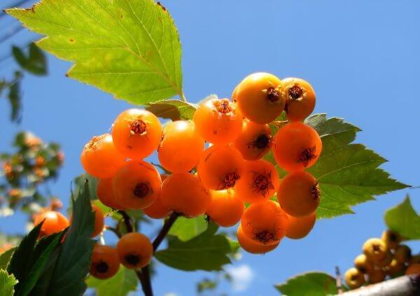Фото: ягоды боярышника желтого цвета